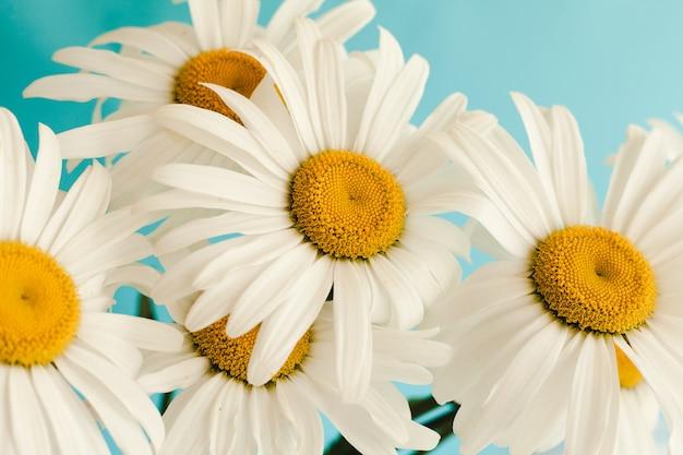 Bouquet di fiori camomiles su sfondo blu