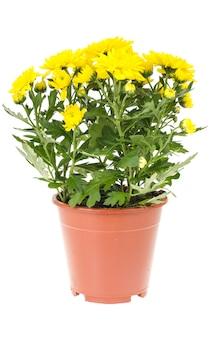 Bouquet di crisantemi gialli freschi in vaso su sfondo bianco.