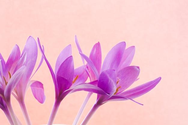 Bouquet di crochi rosa su sfondo rosa. biglietto di auguri, banner, sfondo.