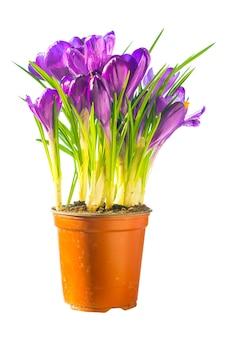 Bouquet di fiori viola isolati su sfondo bianco. crocus, iris nel vaso di ceramica