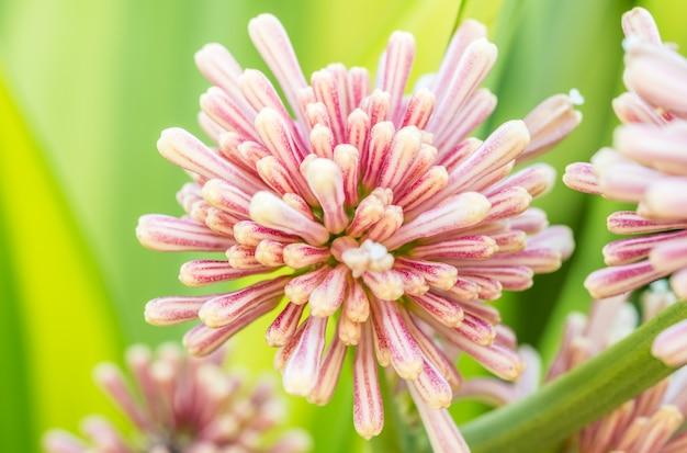 Il mazzo della regina di dracaenas fiorisce, con il fondo vago delle foglie verdi e di giallo.