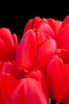 Un mazzo di tulipani rossi nella stagione primaverile