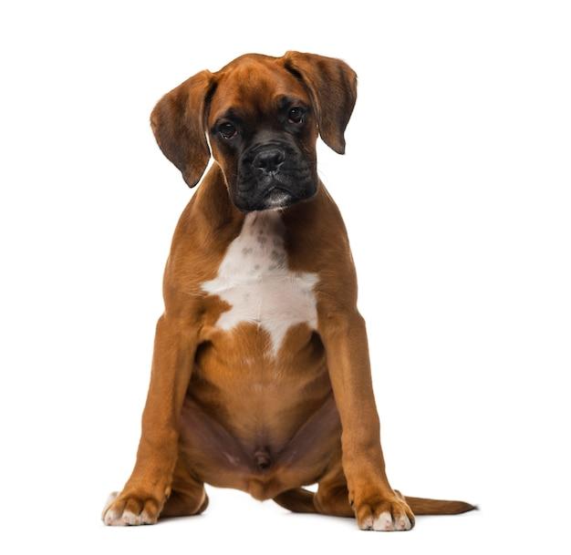 Cucciolo di boxer davanti a un muro bianco