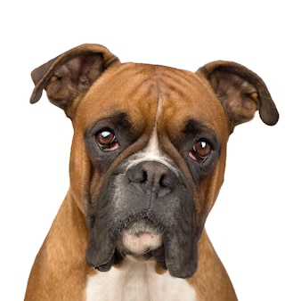 Pugile con 2 anni. ritratto di cane isolato