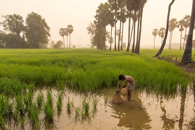 Ragazzo asiatico contadino persone sul campo di riso verde durante la mattina