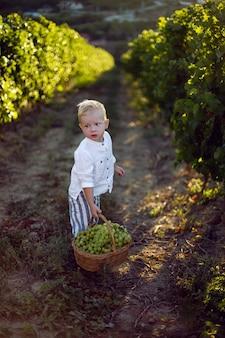 Ragazzo bambino biondo al tramonto porta un cesto di uva verde nella vigna
