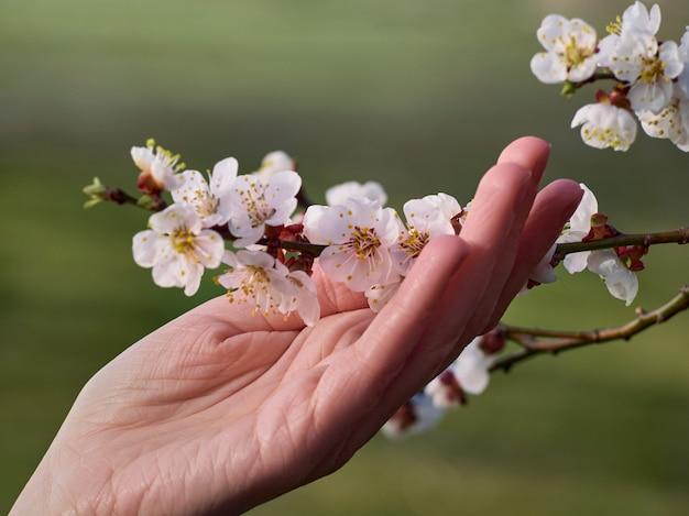 Ramo di albicocche in fiore in mano.