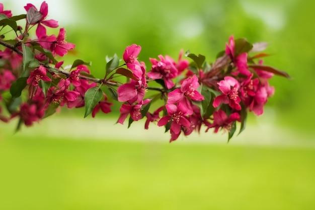 Un ramo di un melo decorativo sbocciante con fiori rossi, messa a fuoco in primo piano, sfondo sfocato, messa a fuoco selettiva. fiori di primavera.