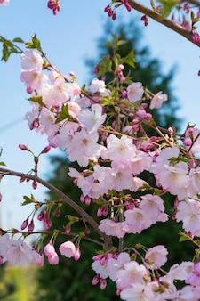 Ramo di sakura sbocciante nel parco di primavera