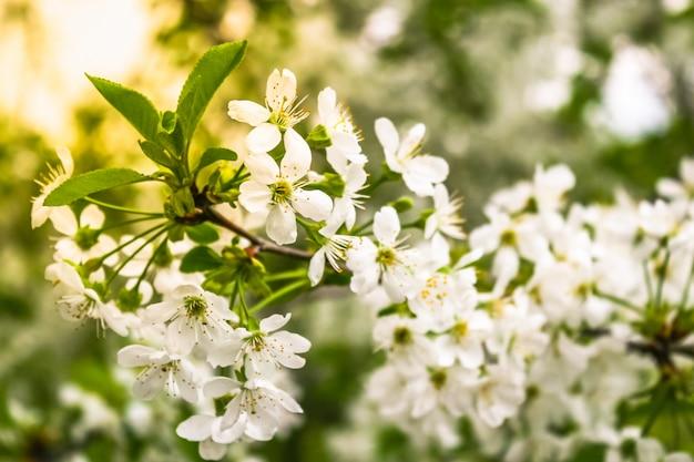 Un ramo di ciliegio in giardino, primo piano.