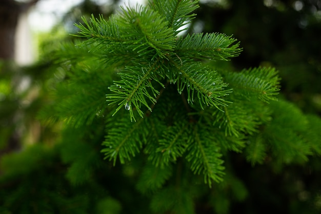 Un ramo di un albero di natale nella foresta dopo una fresca pioggia estiva. gocce di pioggia sull'albero di natale