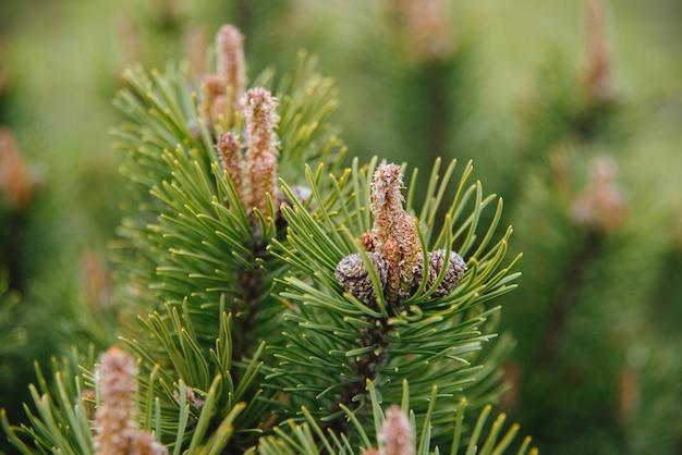 Ramo di conifere su sfondo sfocato