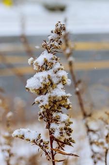 Un ramo di erba secca è coperto di neve. l'erba è coperta di neve.