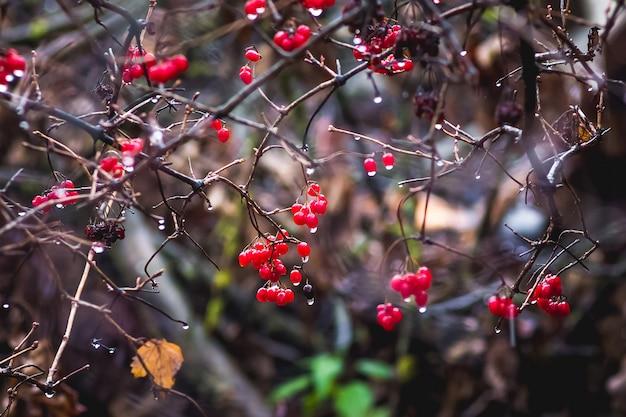 Il ramo di viburno è aumentato con bacche rosse durante la pioggia nel tardo autunno Foto Premium