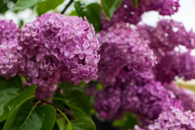 Ramo di fiori lilla con foglie verdi. grande fioritura del ramo lilla. fioriture luminose del cespuglio di lillà primaverili. bouquet di fiori viola. primo piano di fiori lilla blu primaverili su sfondo sfocato.