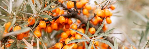 Un ramo di bacche di olivello spinoso arancione si chiuda. molte utili bacche di olivello spinoso su un cespuglio con foglie verdi. la bacca da cui si ricava l'olio. sfocato o poca profondità di campo. striscione