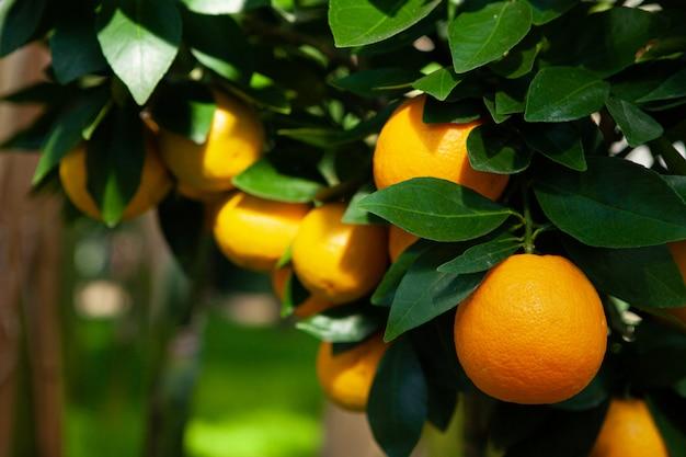 Foglie verdi di frutti dell'arancio del ramo