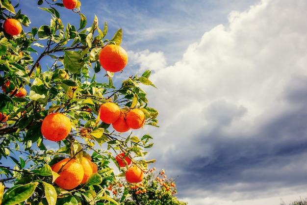 Ramo di arance.
