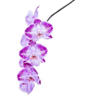 Ramo di orchidee fiori viola isolato su sfondo bianco
