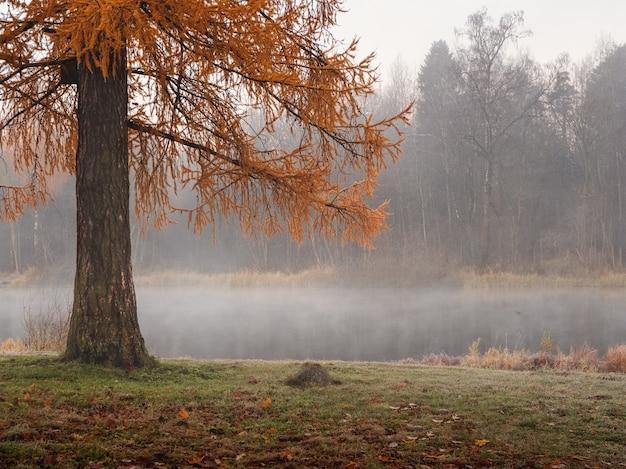 Un ramo di un albero di pino rosso di un lago in autunno. paesaggio autunnale nebbioso naturale. focalizzazione morbida.