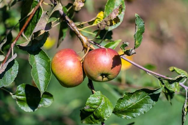Ramo di mele mature sull'albero in giardino. mele dolci sull'albero nel frutteto. avvicinamento