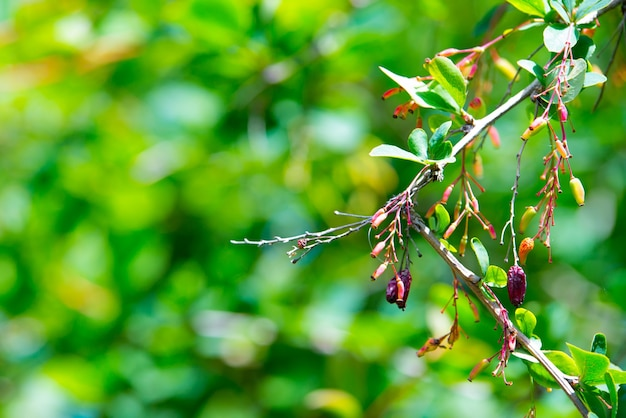 Ramo di crespino rosso in maturazione dopo una pioggia con gocce d'acqua