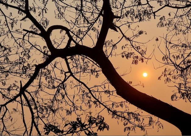 Il ramo dell'albero di samanea saman al mattino sul sole sorge sullo sfondo