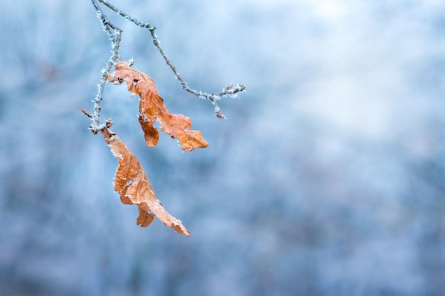 Ramo di un albero con foglie secche, coperto di brina, su uno sfondo blu in una chiara giornata gelida invernale