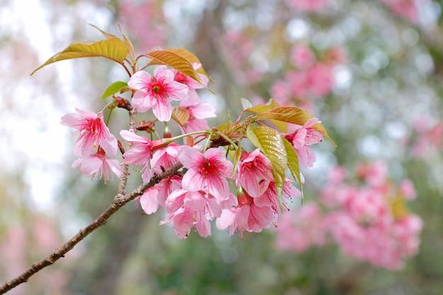 Ramo del fiore di ciliegia himalayano selvaggio che fiorisce durante l'inverno in tailandia