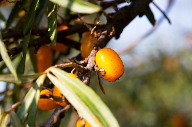 Ramo con bacche di olivello spinoso e foglie verdi su uno sfondo di erba
