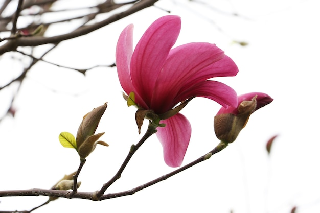 Ramo con bocciolo di magnolia in fiore. isolato su sfondo bianco. chiudere la fotografia.