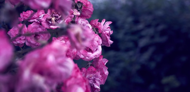 Ramifichi con i germogli di rosa rosa e le foglie verdi di fioritura, insegna