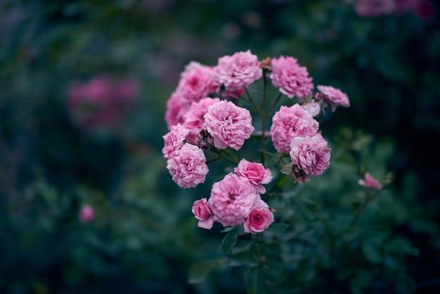 Ramo con boccioli di rosa in fiore e foglie verdi