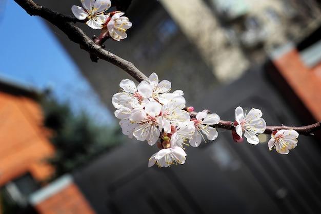 Ramo con fiori di albicocca in primavera