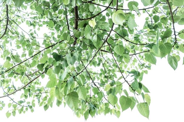 Ramo con foglie verdi dell'albero della bodhi isolate su uno sfondo bianco