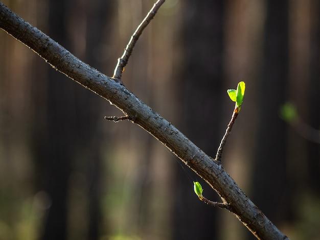 Un ramo con foglie verdi che si aprono in primavera, primo piano.