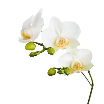 Ramo con fiori di orchidea isolati su bianco.