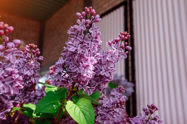 Ramo con fiori di primavera lilla. mondo della bellezza