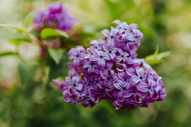 Ramo con fiori di primavera lilla. sullo sfondo della natura.