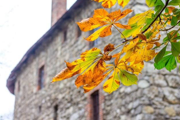 Ramo con foglie gialle di castagno sullo sfondo del muro di pietra della vecchia casa_