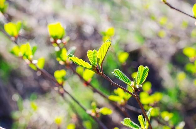 Ramo con foglie giovani e boccioli all'inizio della primavera