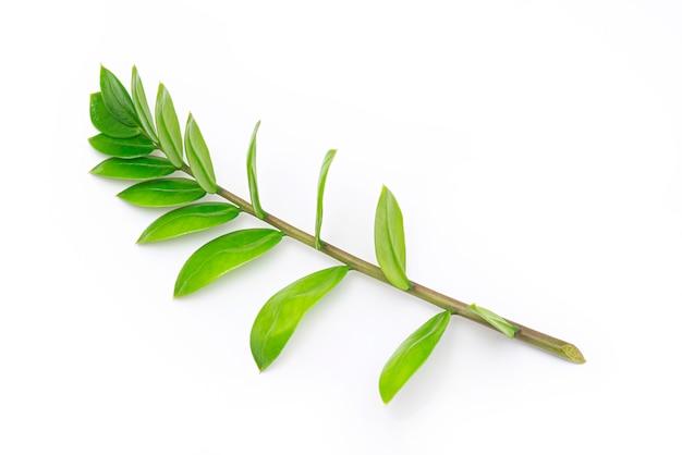 Ramo di giovani zamioculcas zamiifolia, foglia di zamioculcas isolata