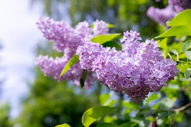 Rami di un bellissimo lillà in fiore. in una soleggiata giornata primaverile, i cespugli di lillà fiorirono nel giardino. cespuglio di lillà viola