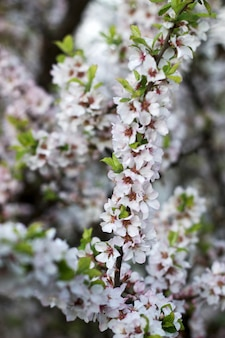 Rami della ciliegia selvatica di fioritura, concetto della molla.