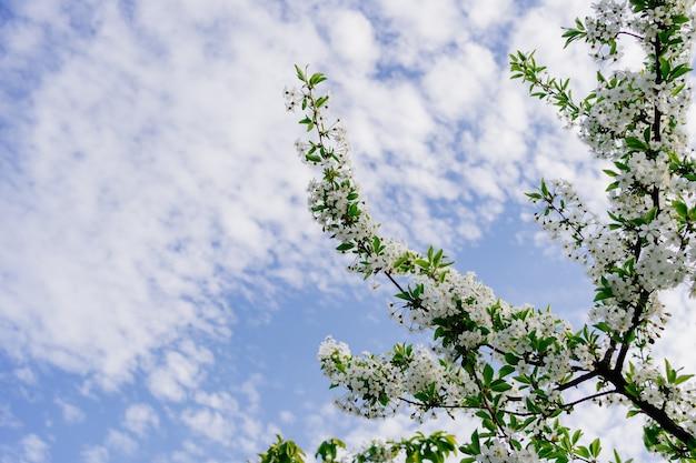 Rami di alberi in fiore. la bellezza della natura primaverile. giardinaggio e agricoltura. aromaterapia e meditazione. paesaggio.