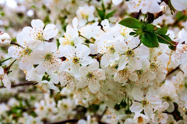 Rami dell'albero di bacche di ciliegio durante la fioritura con i fiori