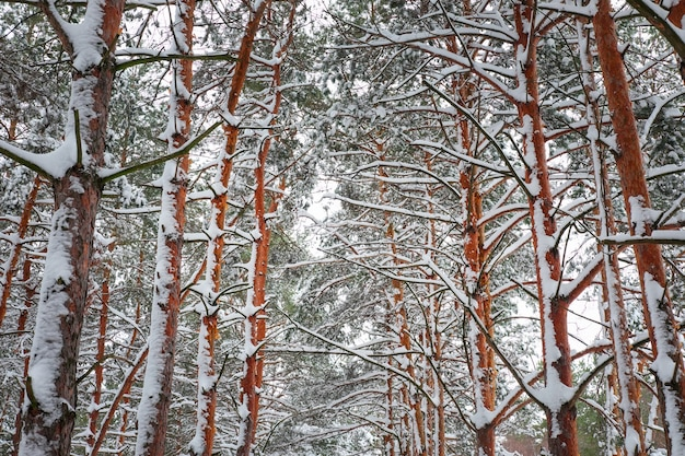 Rami di un albero di natale ricoperti di neve. sfondo invernale abete naturale
