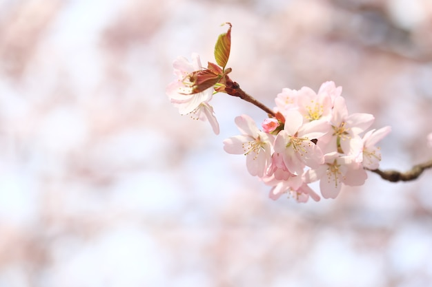 Rami di melo in fiore. sfondo primaverile con messa a fuoco selettiva morbida. fiori di sakura in fiore