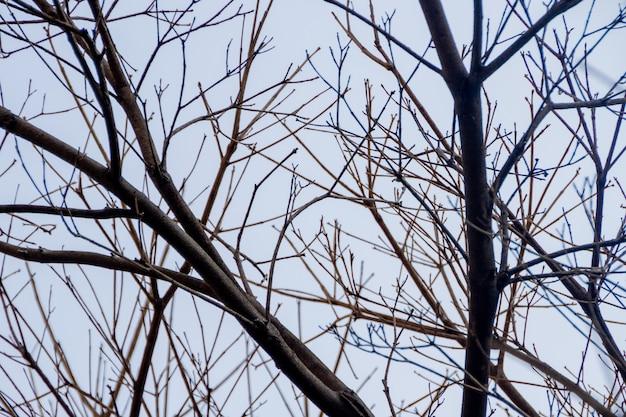 Rami di un albero di ipe, con un bel cielo azzurro