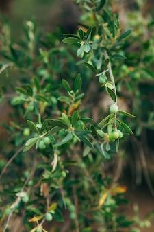 Rami e foglie di un ulivo in un uliveto